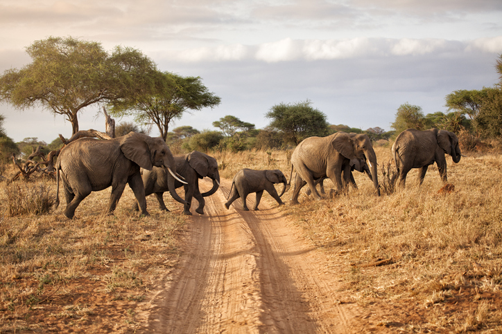 Elephant family at dawn, Africa