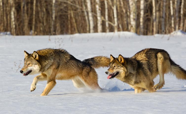 Wolves Running in Winter